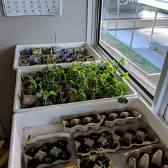 Class room seedlings.png