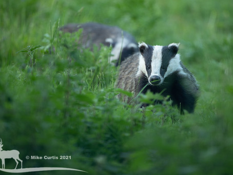 More Badgers