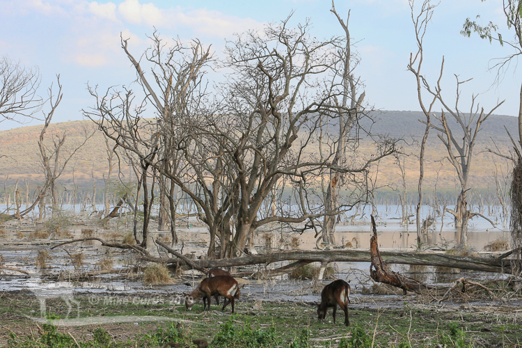 Waterbuck with drowned forest