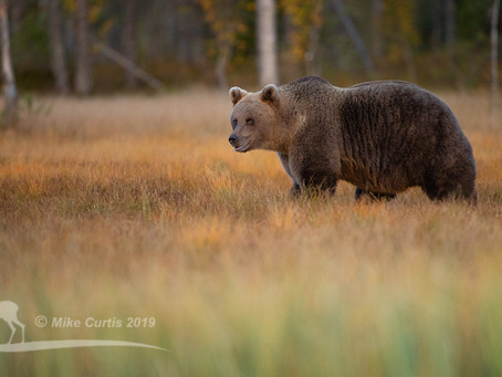 Brown Bears and Crested Tits