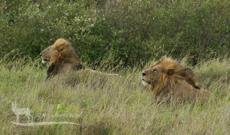 Both males look into the wind