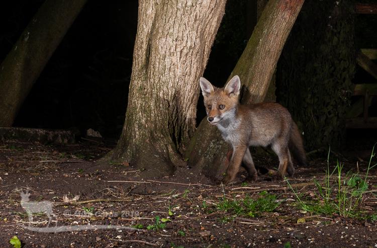 Woodland cub