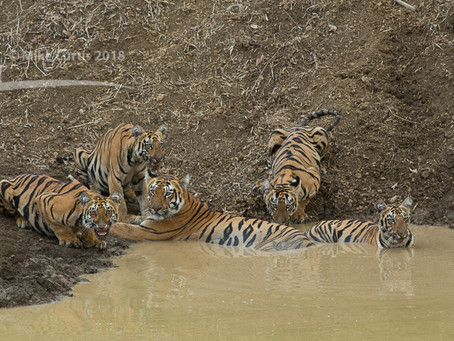 Six tigers in a single photograph