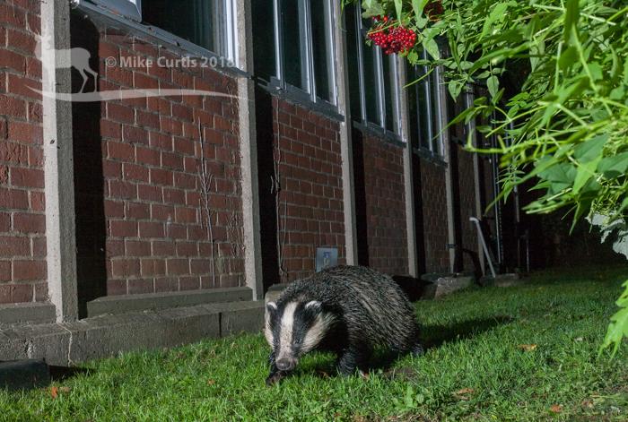 Soggy badger