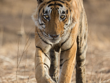 Farewell to a magnificent tiger. A victim of human-animal conflict