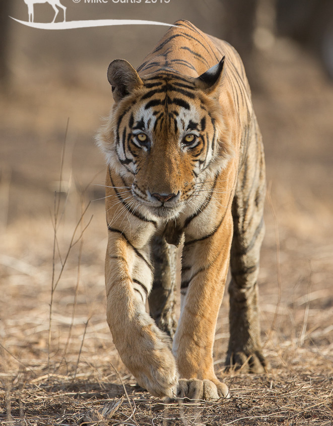 Possibly my favourite tiger image