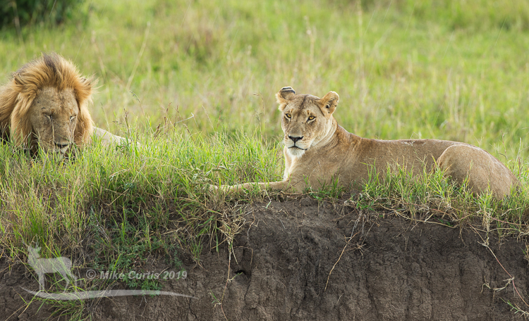 Our first Mara lions