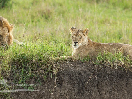 Big Cats of the Maasai Mara