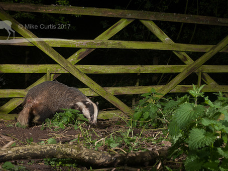 Badgers are back