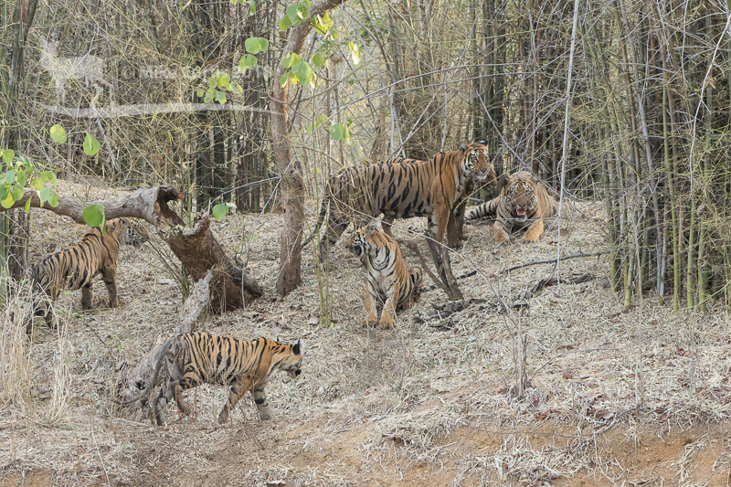 Six tigers in a single image