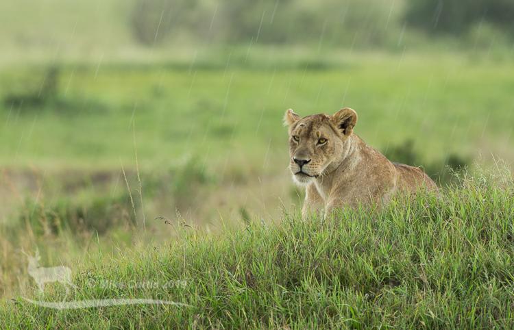 Lioness in the rain