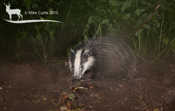 Fiesty the badger cub, I named him that to reflect his character