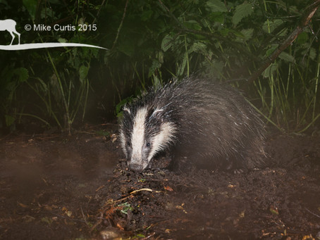 Badgers 'stay calm and carry on' during thunderstorm