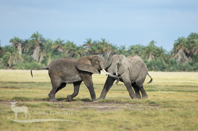 Jousting elephants