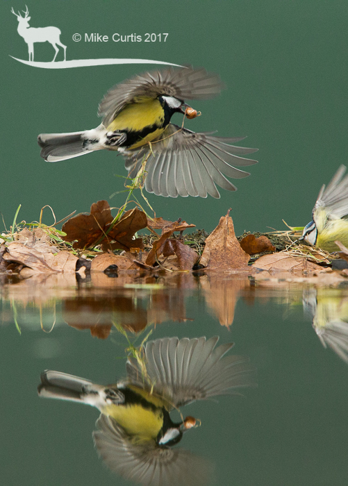 Great Tit at relection pool