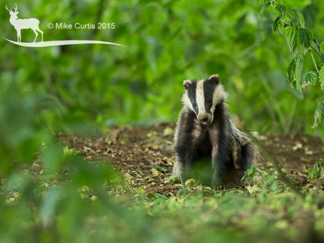 High quality HD video of foraging badger