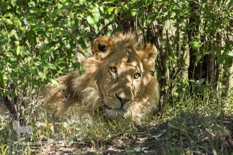 Dappled light on Lion
