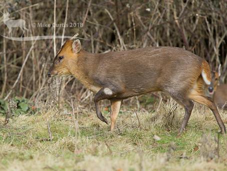 A fabulous sighting of Muntjac deer