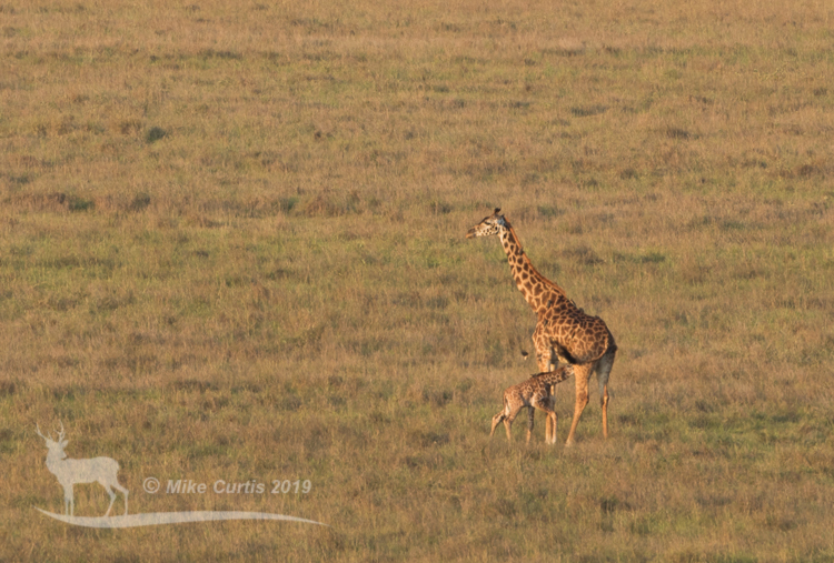 Maasai Giraffe mother and baby