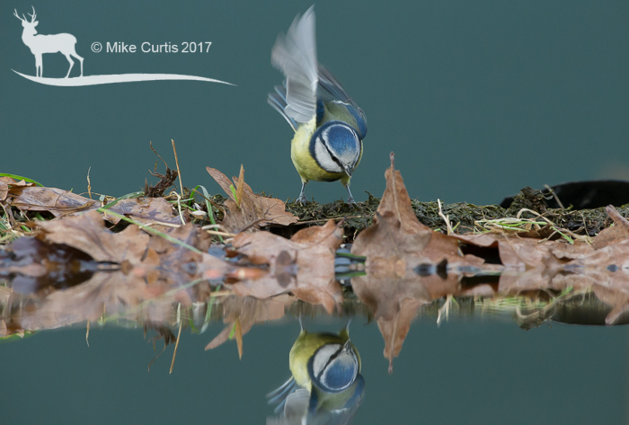 Blue Tit at reflection pool