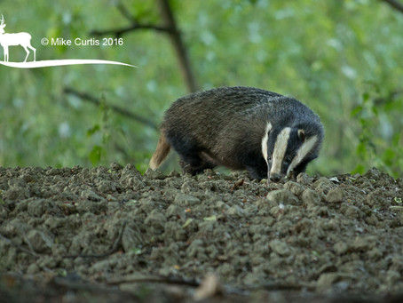 A lovely Friday evening spent in the company of a couple of badgers