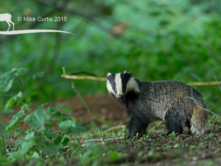 Wonderful evening of badger viewing