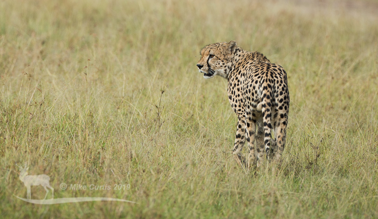 The cheetah never walked too far without looking back to see where their mates were.