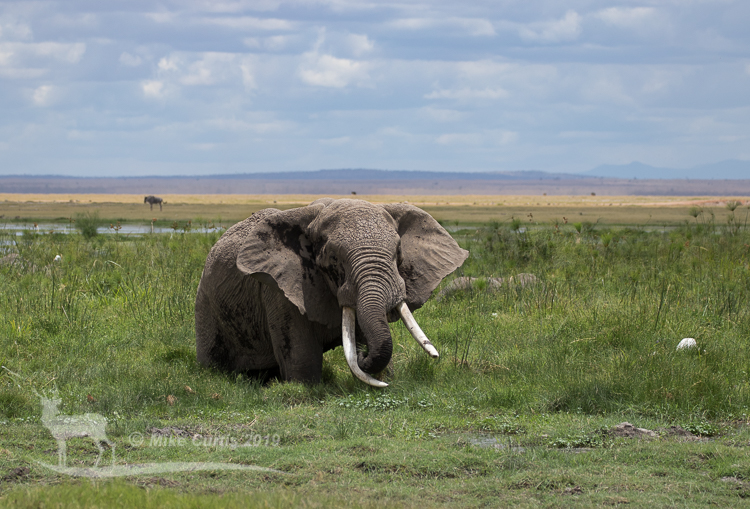 Big tusker in the swamp