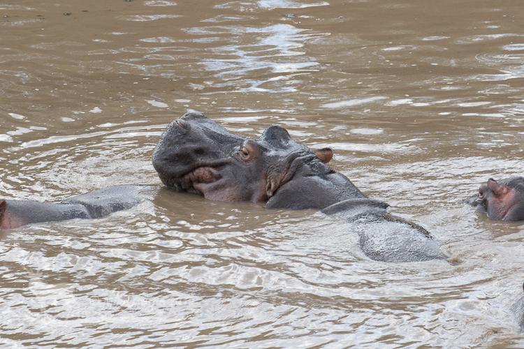 Hippos of the Mara River
