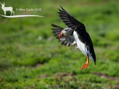 Puffins & Kites in wonderful West Wales