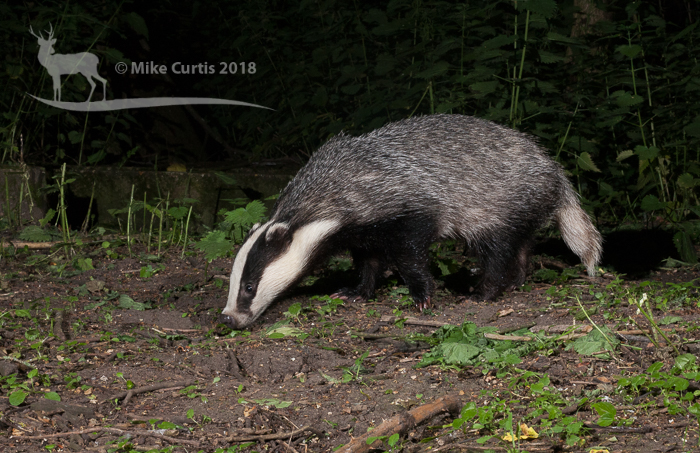 Adult badger