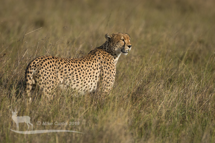 One of the cheetah coalition