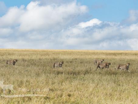 Five cheetah coalition of the Mara