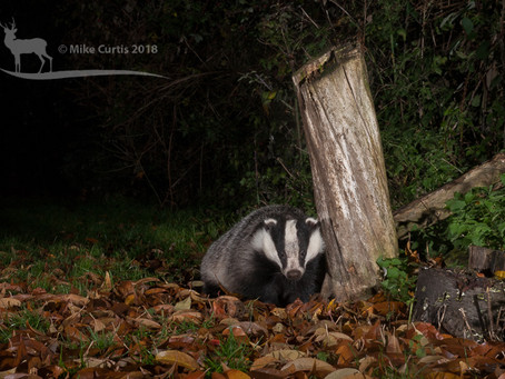 Autumn Badger