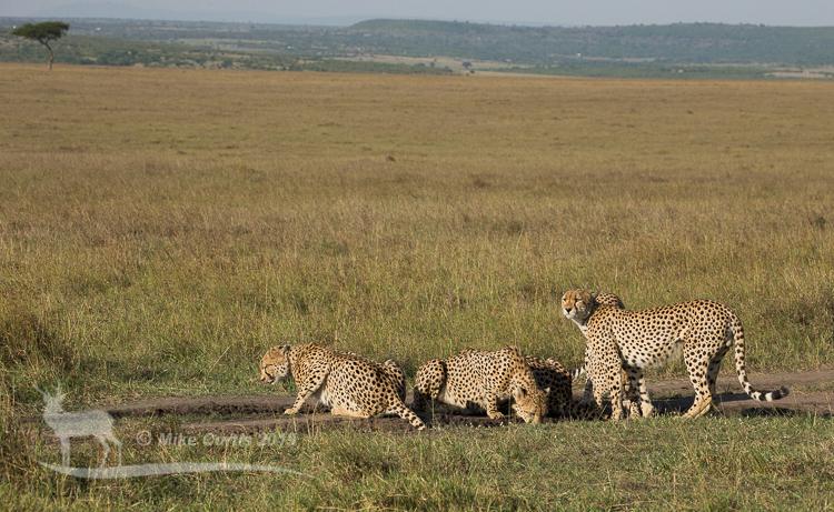Cheetah-scape