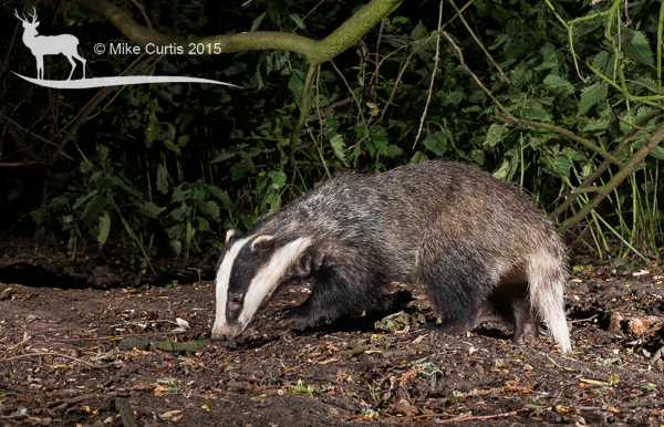 Nice view of a foraging badger