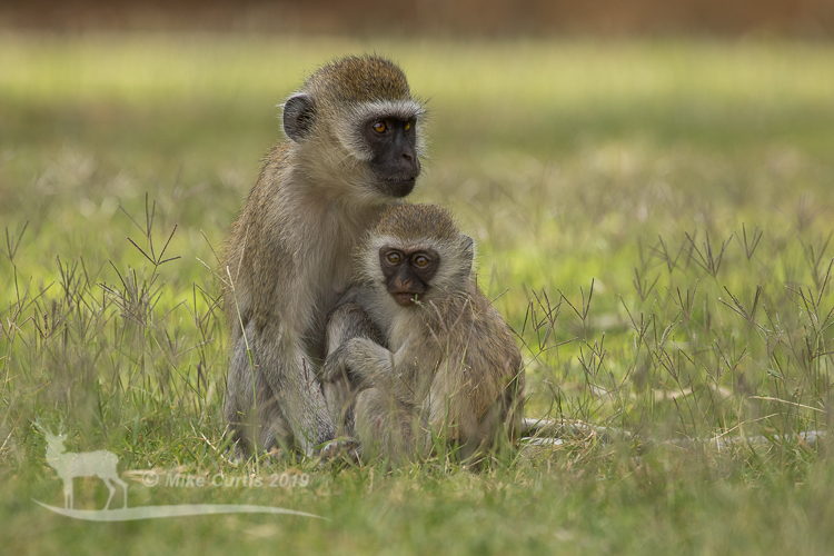 Black-faced monkeys