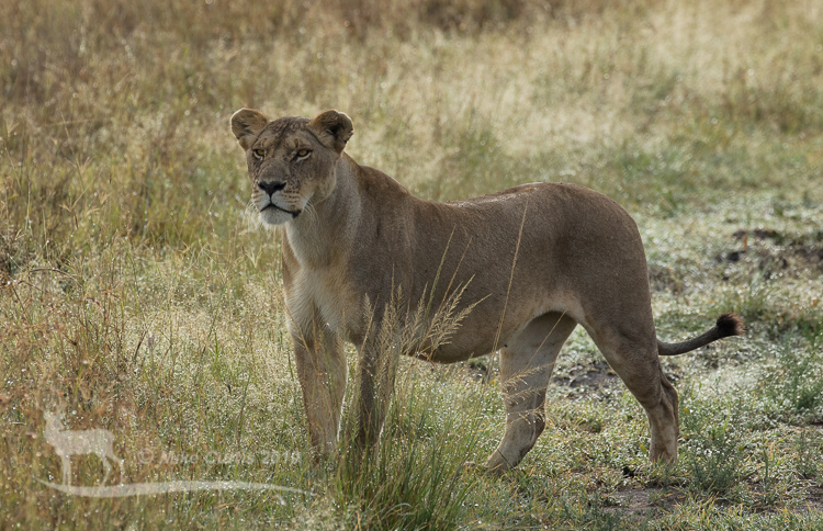 Lioness scouting for prey
