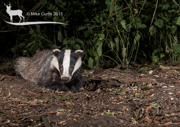 This adult badger is stretched out like a dog in the cool summer night