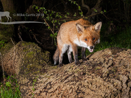 Welsh fox