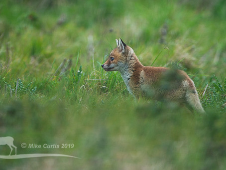The appearance of fox cubs and a dramatic change in behaviour of the fox population