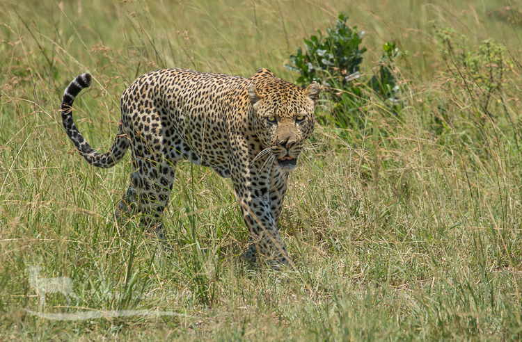 Split nose the male leopard