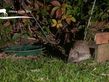 Hedgehog selfie