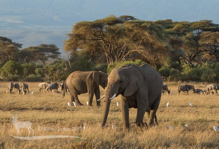 Elephants in morning light