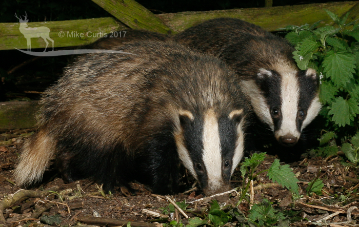 Close up of the badgers
