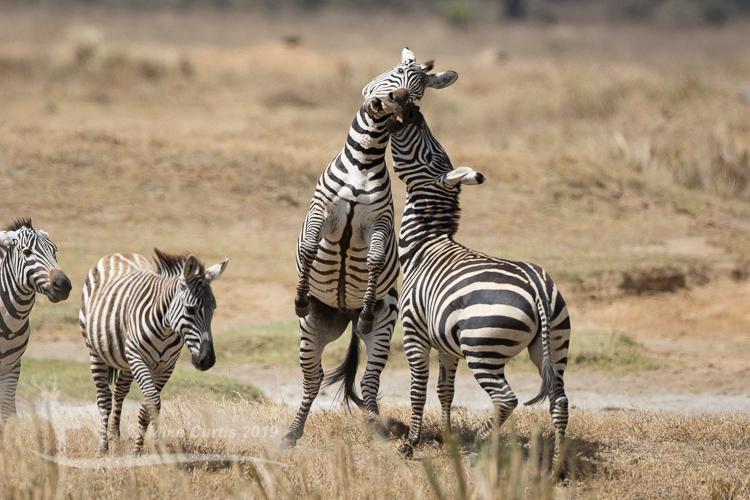 Fighting Zebra stallions
