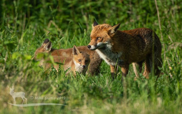 Impostor and cubs