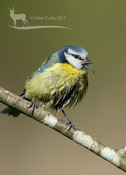 Blue Tit with malformed beak