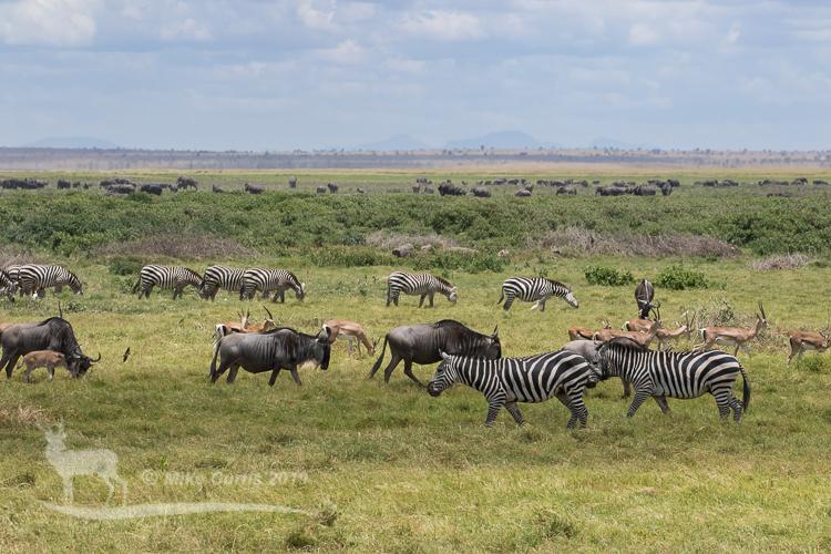 Mixed herds of Amboseli
