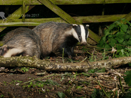A cete of badgers